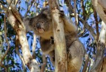 Photo of Koala Virus Explaining Accumulated 'Junk' DNA In The Human Genome