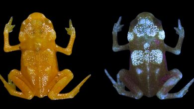 Photo of Researchers discover fluorescence in tiny Brazilian frogs